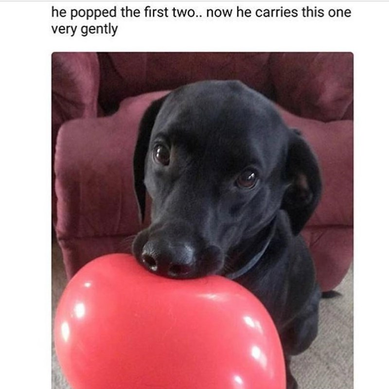 Funny meme about a dog who popped two balloons and now carries around another balloon vcery gently, very cute meme.