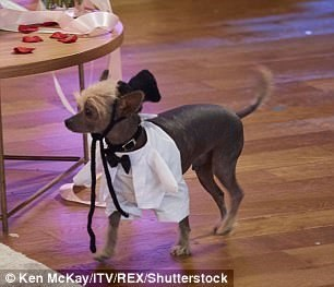 Dog groom respectfully and dignified walking down the aisle to be married.