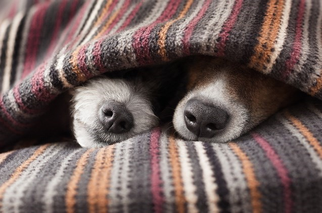 Dogs hiding under the blanket, together.