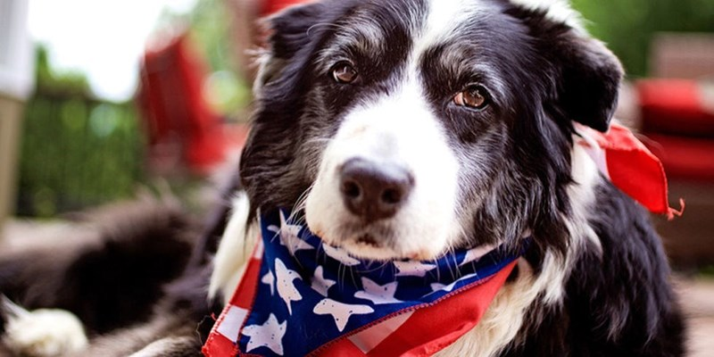 dog wearing a patriotic neckerchief