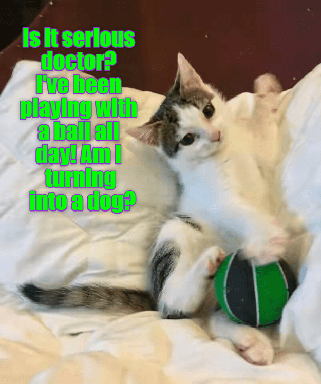 Meme of a cat asking the doctor how serious it is, is he turning into a dog now that he played with a ball?
