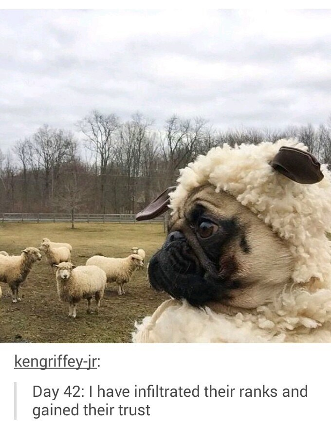 Pug dog dressed as a sheep so gain the trust of their ranks.