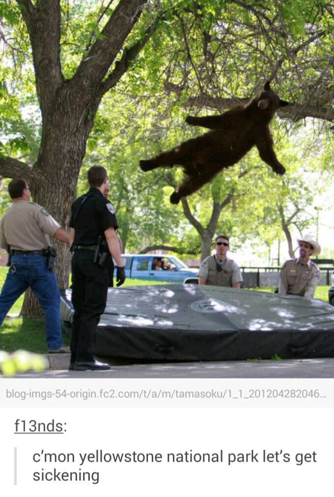 Bear falling out of a tree onto a mattress in Yellowstone National Park