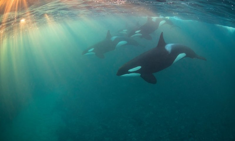 Killer Whale orkas under the sea
