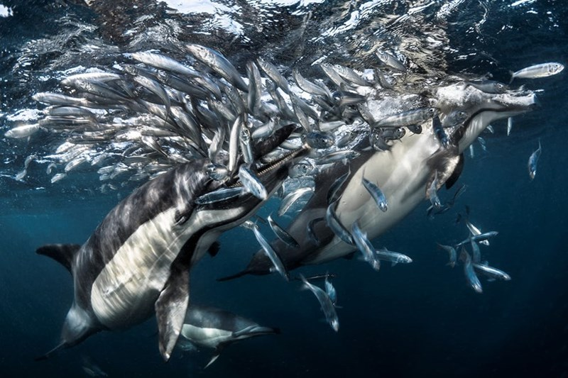 Greg Lecoeur picture of dolphins hunting off the coast of South Africa
