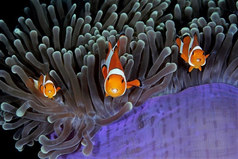 Amazing picture of clown fish by Qing Lin