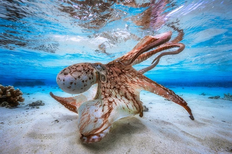 Photograph by Gabriel Barathieu of an octopus underwater