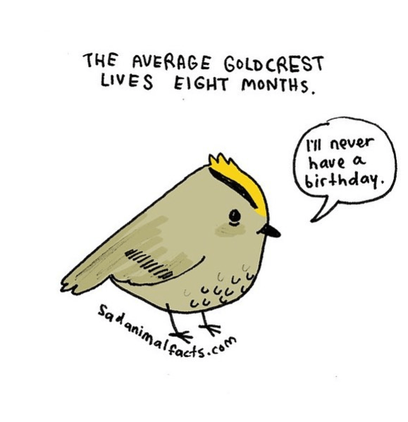 Bird - THE AVERAGE GOLDCREST LIVES EIGHT MONTHS l'll never have a birthday Sadanimalots.com