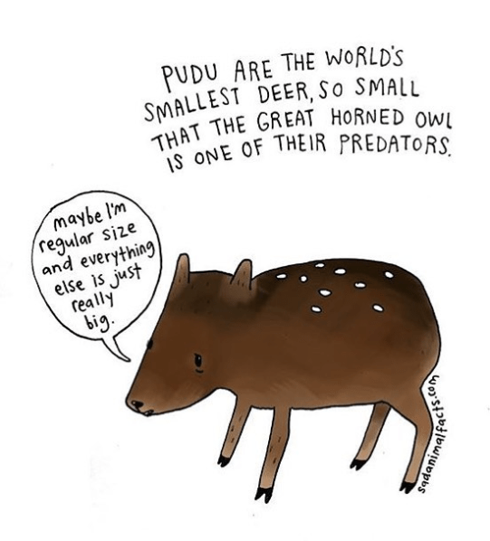 Tapir - PUDU ARE THE WORLD'S SMALLEST DEER, So SMALL THAT THE GREAT HORNED oWl Is ONE OF THEIR PREDATORS maybe l'm 'regular size and everything else is just really big sadani