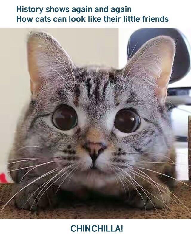 Meme of a cat that looks like a chinchilla