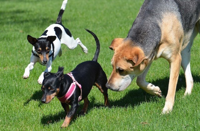 big dog running with smaller dogs and puppies on freshly cut green grass