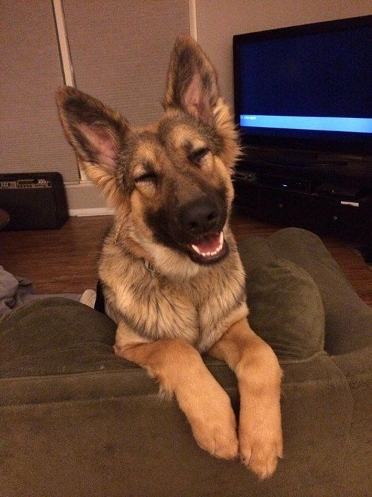 German Shepard dog smiling on the couch.