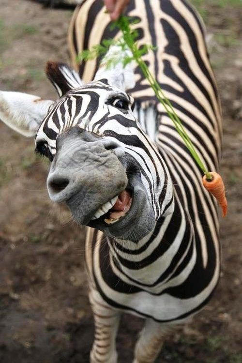 Zebra smiling at getting the carrot.