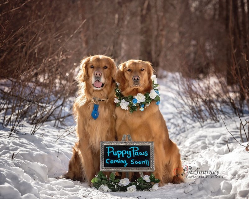 Great pic of dog couple of golden retrievers in the snow, with sign explaining there are puppies on the way.