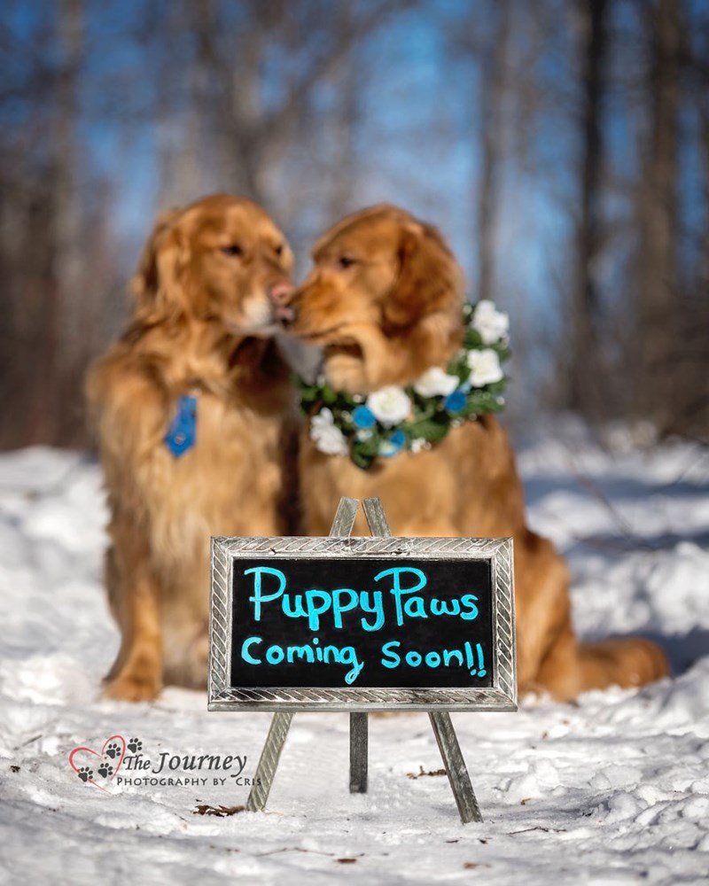 dog couple photoshoot to announce their pregnancy of puppies