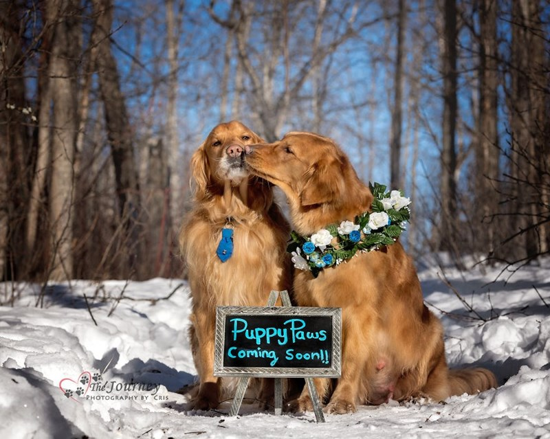 Golden retrievers kissing in the snow