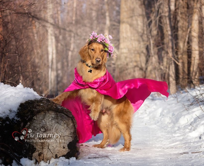 Golden retriever wearing a hot pink cape.
