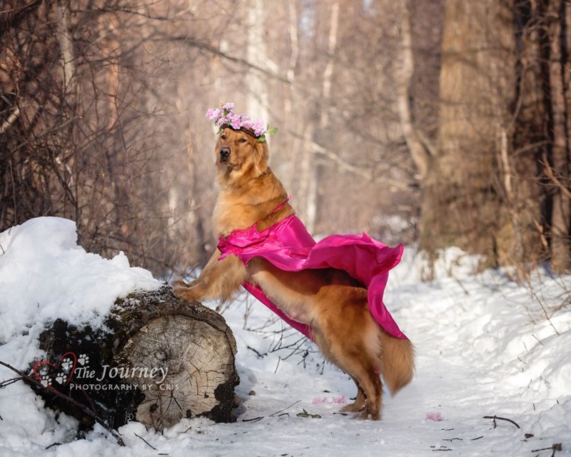 dog posing wearing a bright pink cape