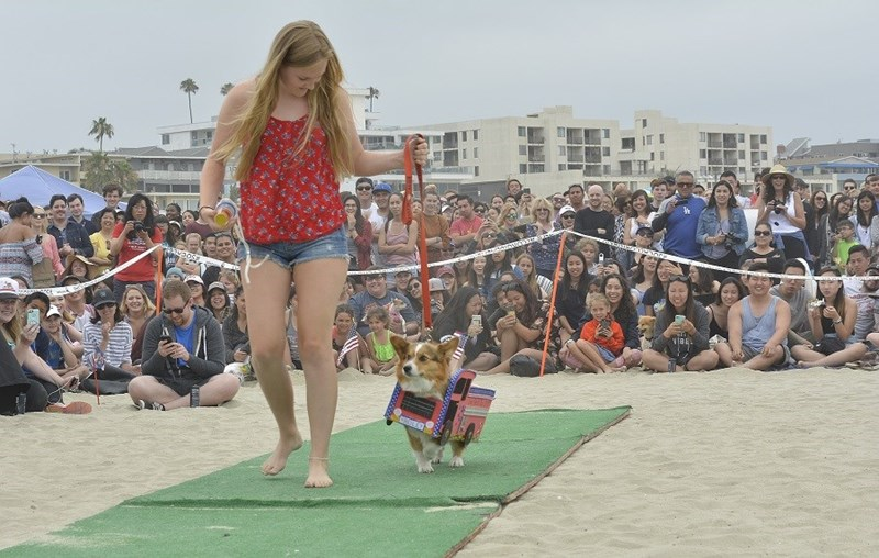 Corgi walking on AstroTurf on the beach in a firetruck costume