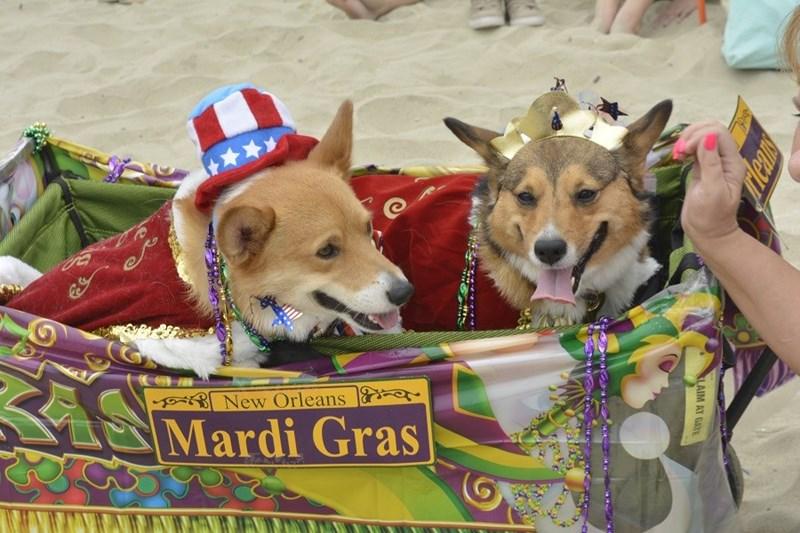 Mardi Gras style corgi costumes