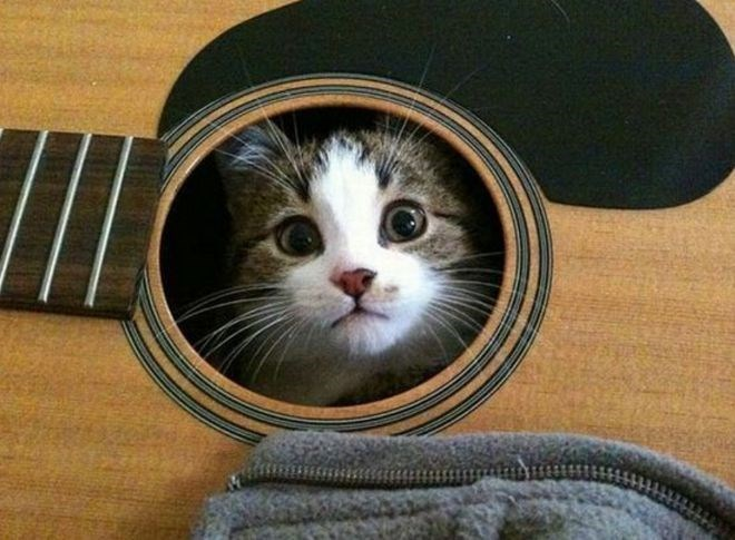 Cat hiding in a guitar