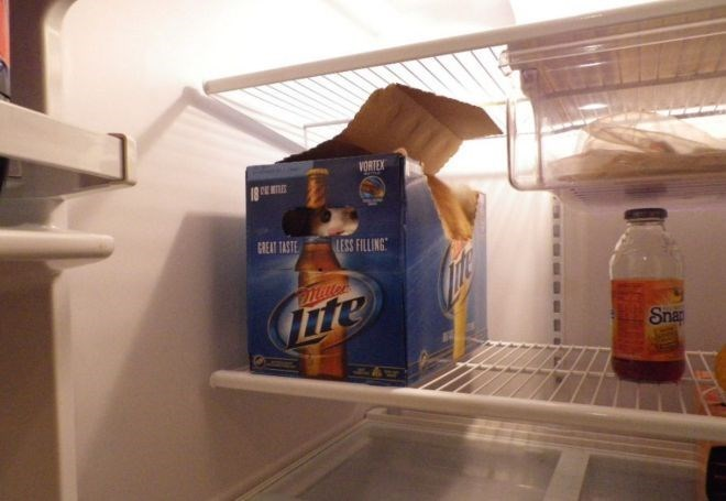 cat hiding in a fridge inside a case of lite beer