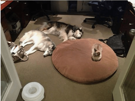 Cat taking over the entire dog's bed