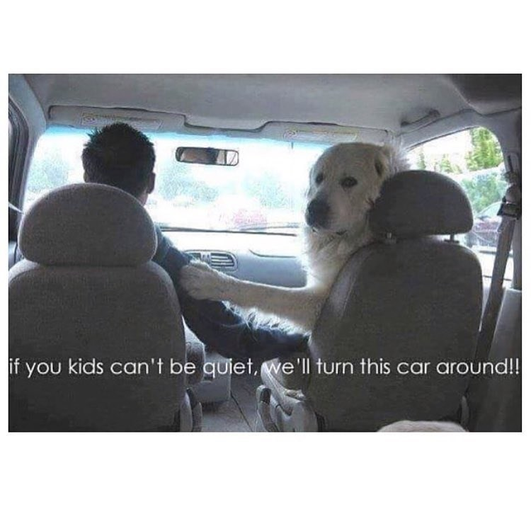Funny meme where a dog looks like it's your mom yelling at you in the car, says if they don't stop they're going to turn the car around.