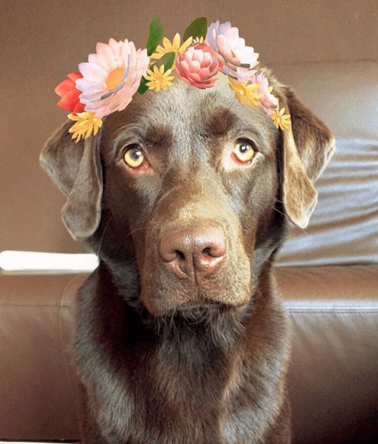 Tough looking chocolate labrador wearing a wreath of flowers in his hair.