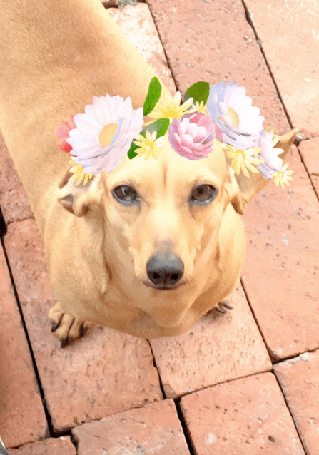 Dog with snapchat filter for a crown of flowers.
