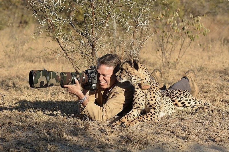 Photographer with a huge camera and a cheetah right next to him looking to see what he is taking pics of.
