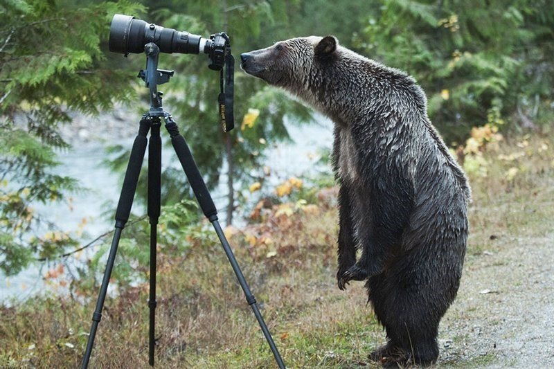 Bear standing upright and crouching down just a but to have a look thru the view finder of a camera.