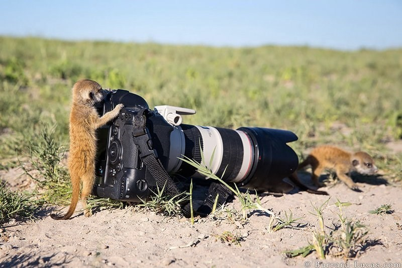 Baby meerkats playing on a large camera