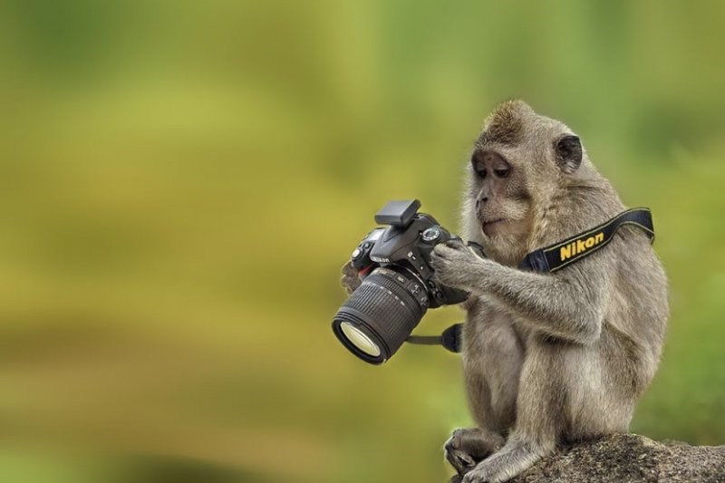 Somber monkey looking at the pics he took on his camera.