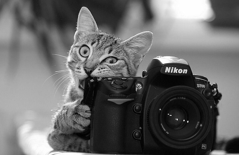 Black and white photo of a cat chewing on a Nikon DSLR camera