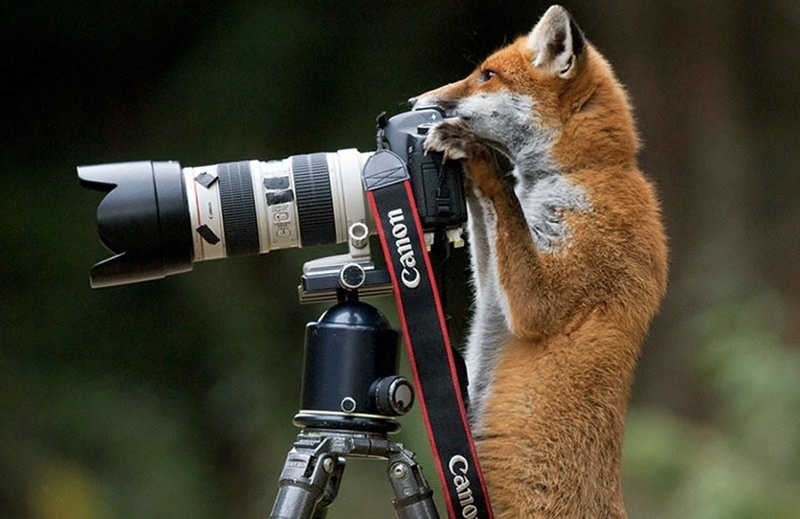 Fox on a Canon camera with large zoom lens.