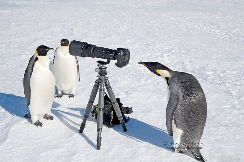Penguins inspecting a camera with giant lens and it looks like they are taking each other's pictures.