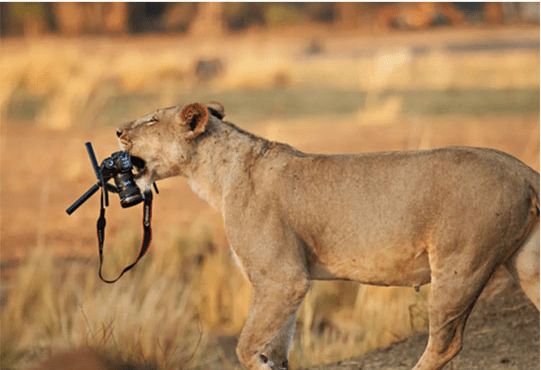 Lion with a camera in it's mouth.