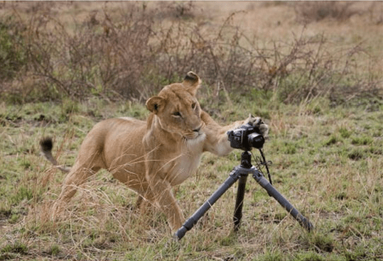 Lioness curiously swiping at a tripod mounted camera.