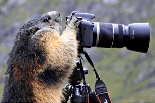 Fat and happy otter at the camera, ready to take a picture.