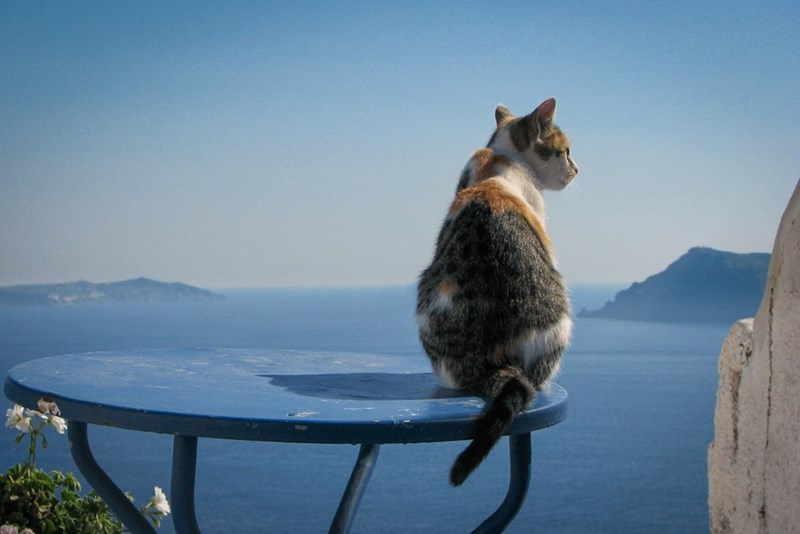 Calico cat overlooking the islands of Santorini from Fila, Greece.