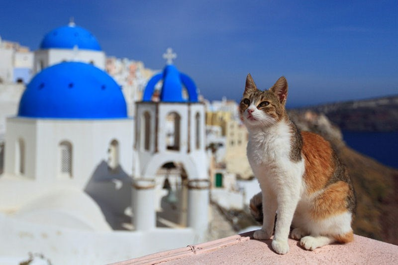 Gentle calico cat standing at the top of Fira, Santorini Greece