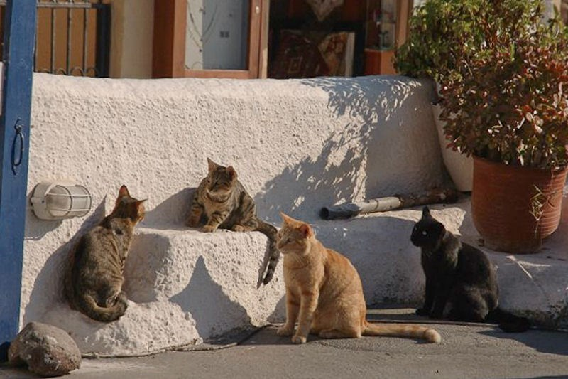 Cats on the white stone finish of Fila, in Santorini, Greece.