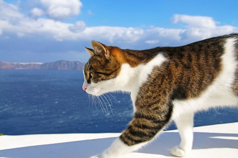 Prancing cat taken from the middle island of Santorini, with Fila far in the background.