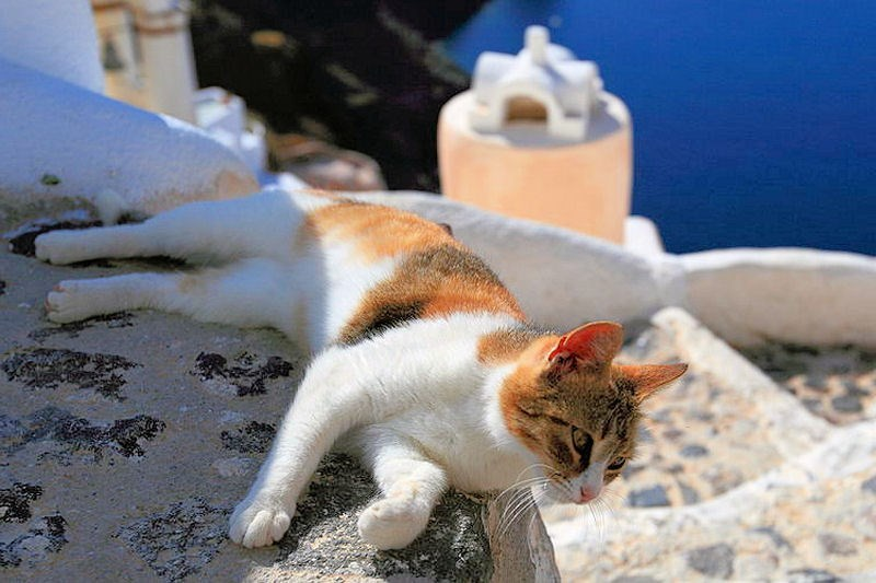 Awsome calico at chilling in the shadow of the mountain in Santorini, Greece