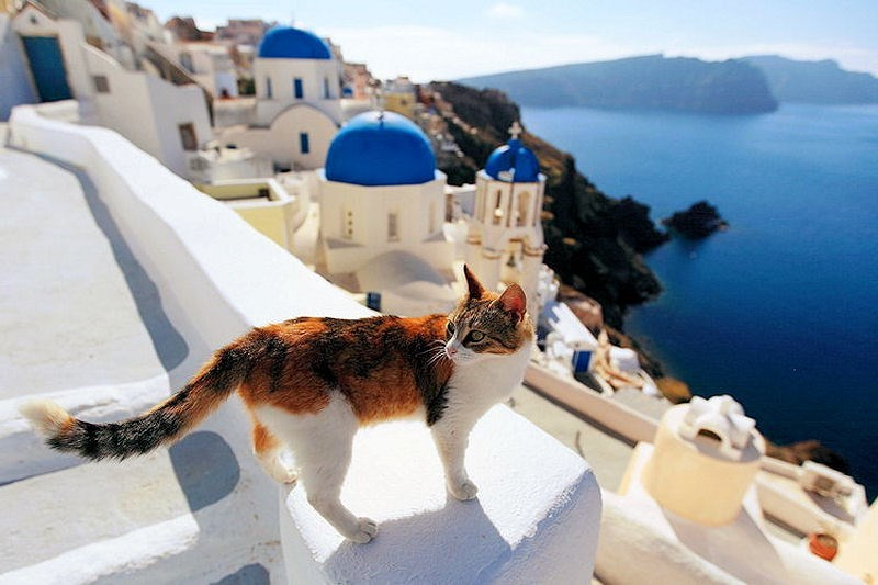 Calico cat with large areas of white fur on his legs standing overlooking the blue sea in Santorini Greece