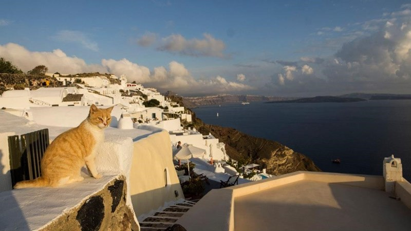 White and orange tabby enjoying the sunset on the magical island of Santorini Greece.