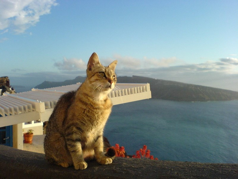 Curious cat in Santorini