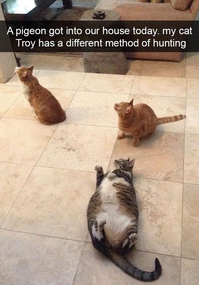 Cat - A pigeon got into our house today. my cat Troy has a different method of hunting