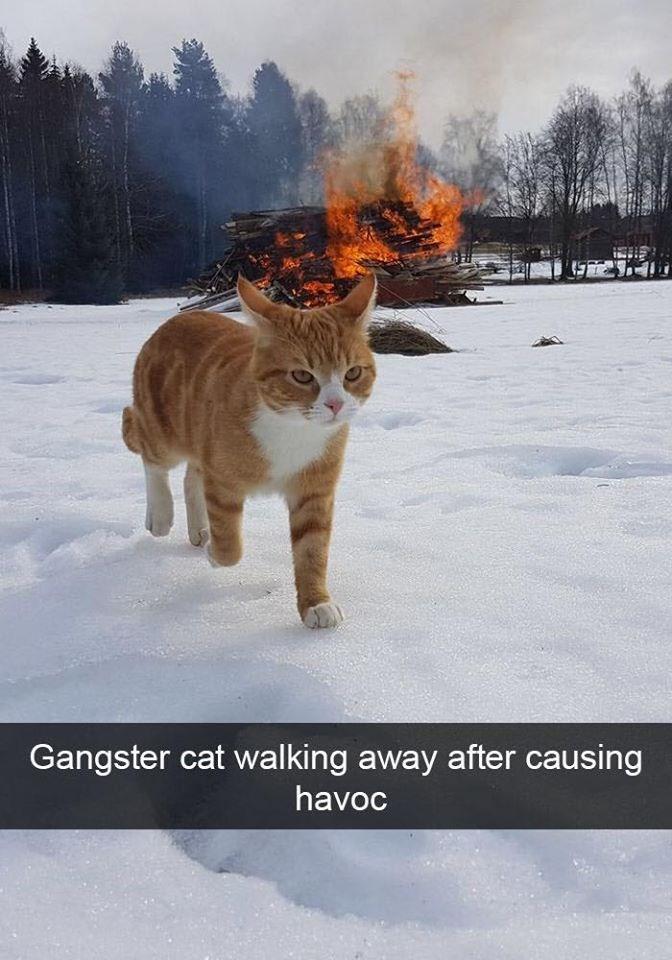 Cat - Gangster cat walking away after causing havoc